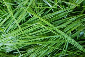 junges Weizengras